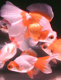 globe eye goldfish