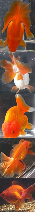 variery of goldfish types