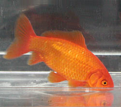 red_common_goldfish_2003-1.jpg