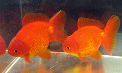 Fantail Goldfish, Further Images 1