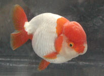 red-white variegated ranchu