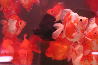 large red and red-white ryukin