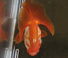Goldfish with black spots