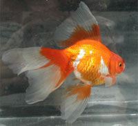 red/silver metallic veiltail, right view