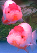 ranchu goldfish